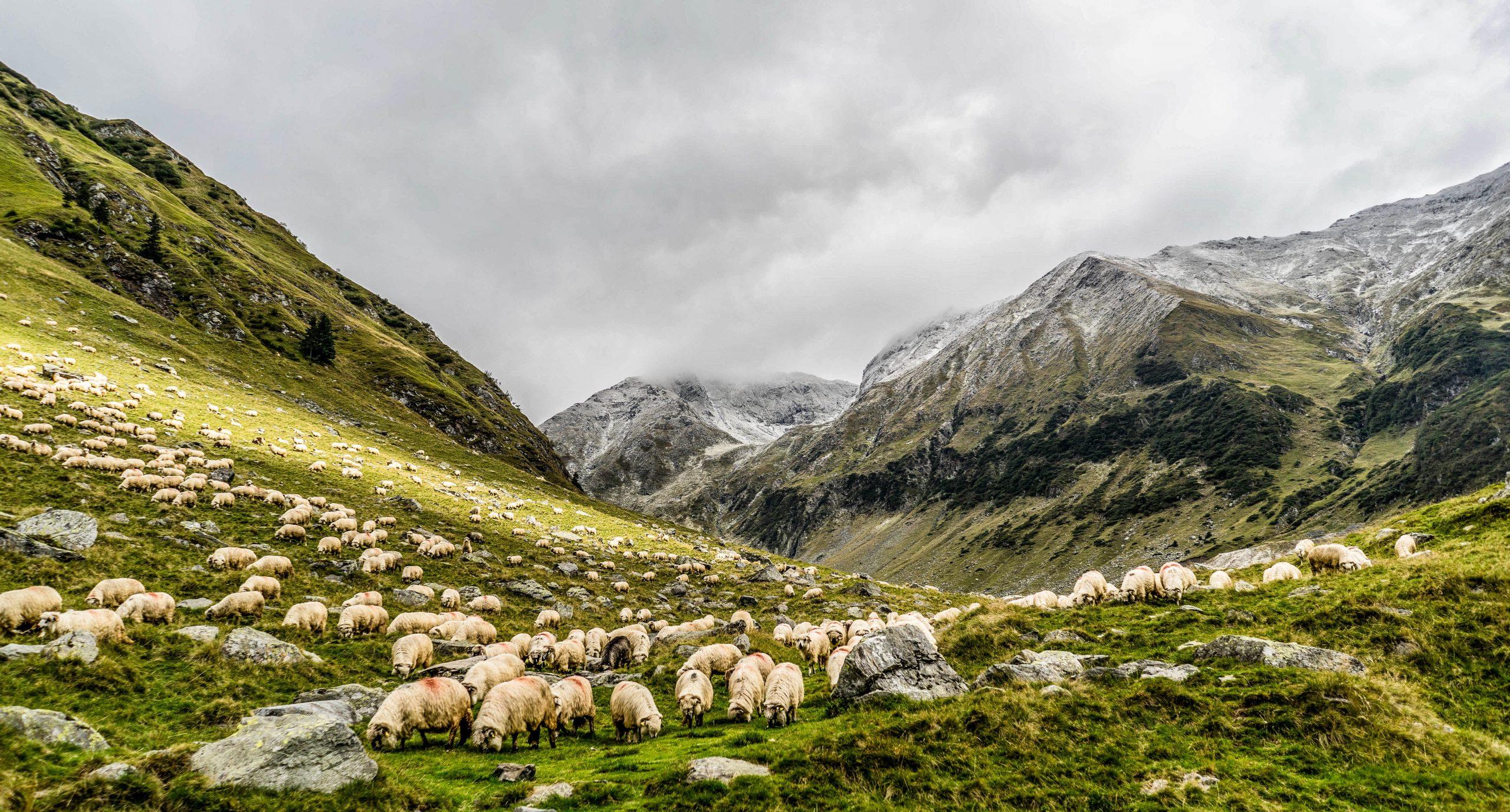 Sheep, Ravens, and Donkeys
